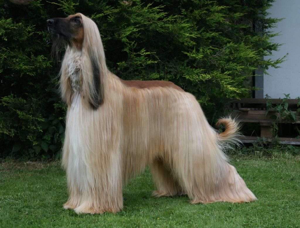 Hair Color Chart Afghan Hound Info Temperament Mixes Training Puppies