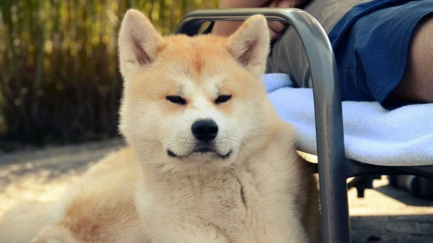 Japanese Akita Inu Info Temperament Puppies Pictures