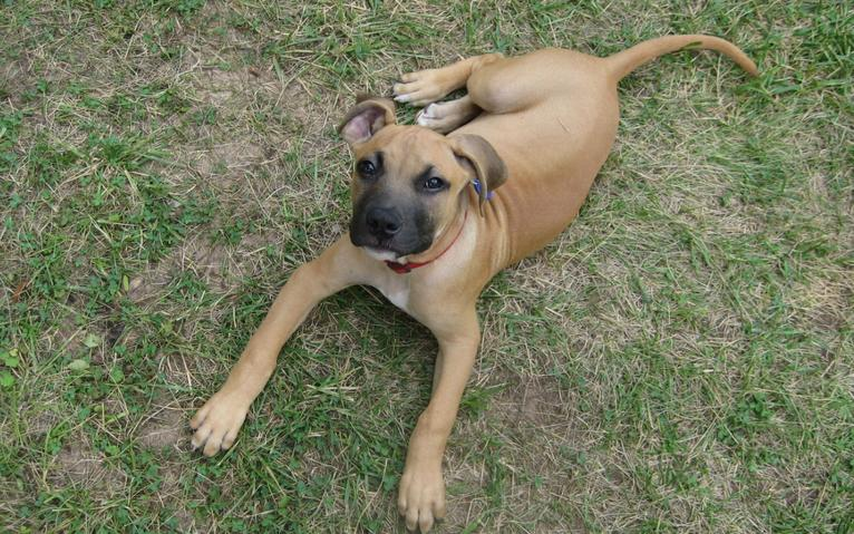Black Mouth Mountain Cur Dog For Sale