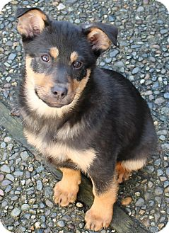Australian Cattle Dog Border Collie Mix Black