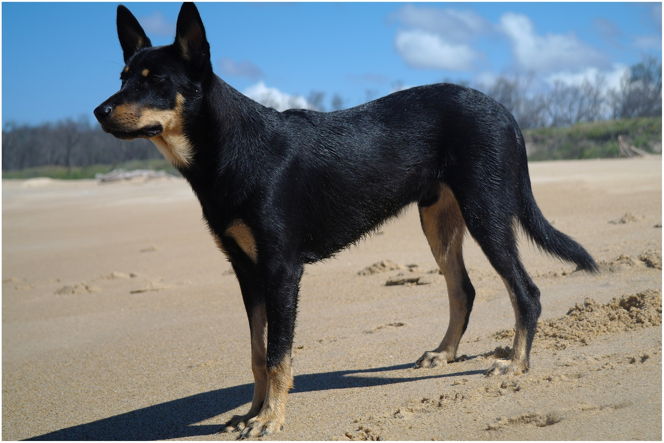 Awe Inspiring Australian Kelpie Info Puppies Mix Temperament Pictures Pdpeps Interior Chair Design Pdpepsorg