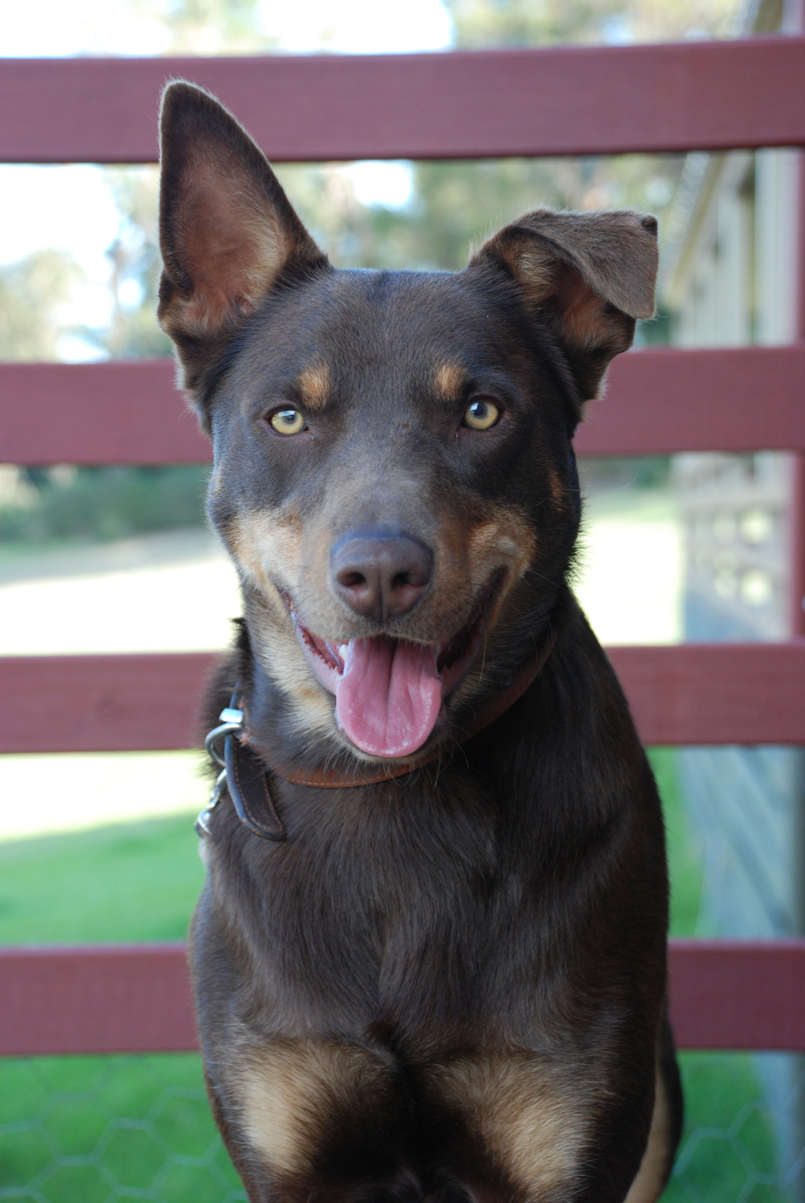 Fabulous Australian Kelpie Info Puppies Mix Temperament Pictures Pdpeps Interior Chair Design Pdpepsorg