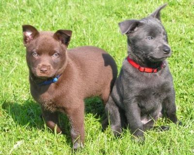 Remarkable Australian Kelpie Info Puppies Mix Temperament Pictures Pdpeps Interior Chair Design Pdpepsorg