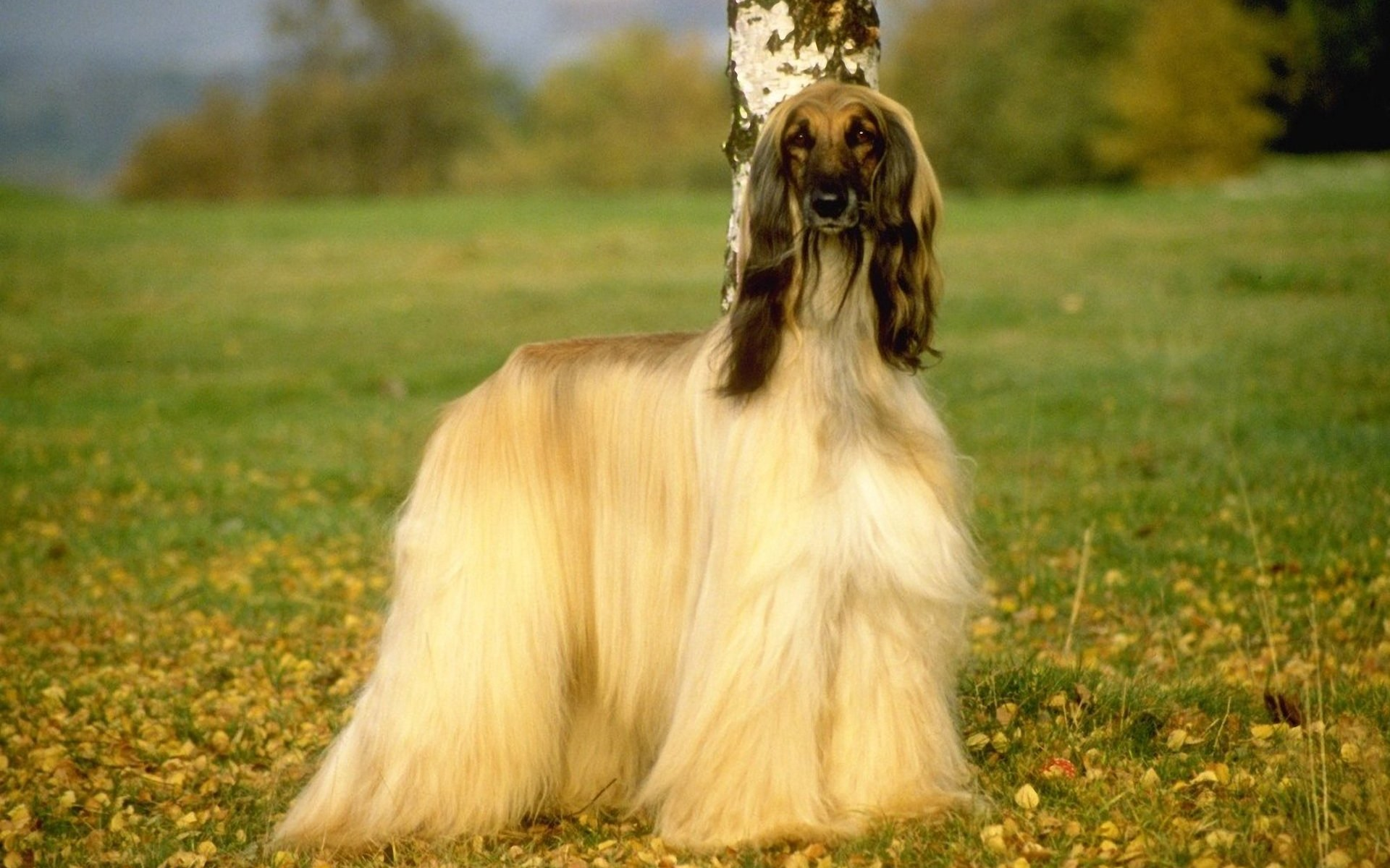 Afghan Hound Info Temperament Mixes Training Puppies Pictures