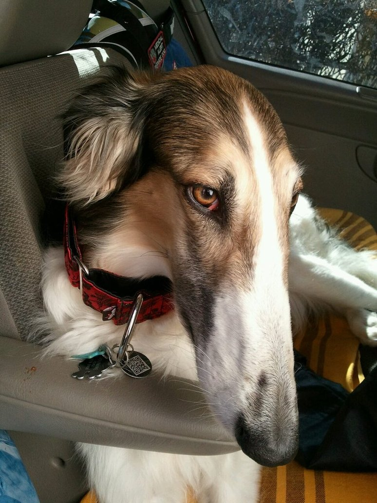 Borzoi Dog Info Mixes Temperament Training Puppies