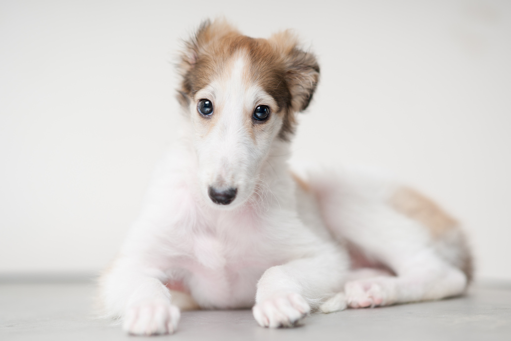 Dog Breeds Whippet Puppy