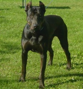 Canis Panther Info, Temperament, Puppies, Pictures