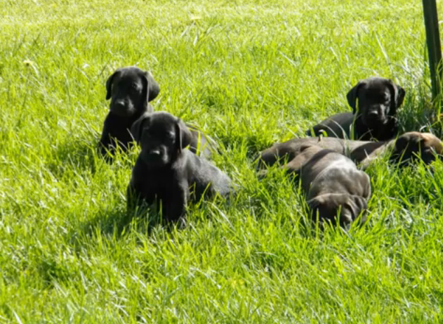 Canis Panther Info Temperament Puppies Pictures