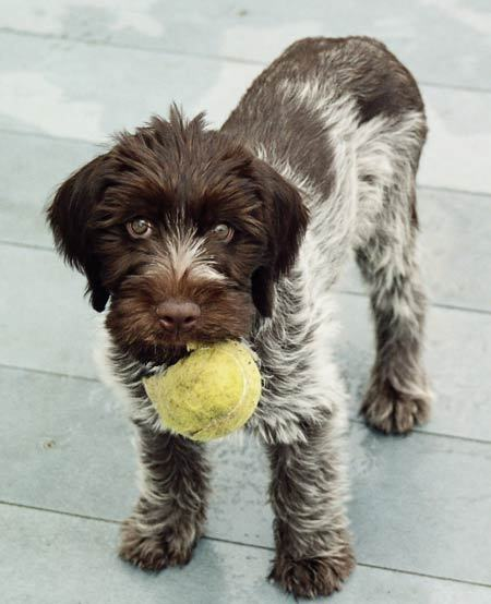German Wirehaired Pointer Info Temperament Puppies Pictures