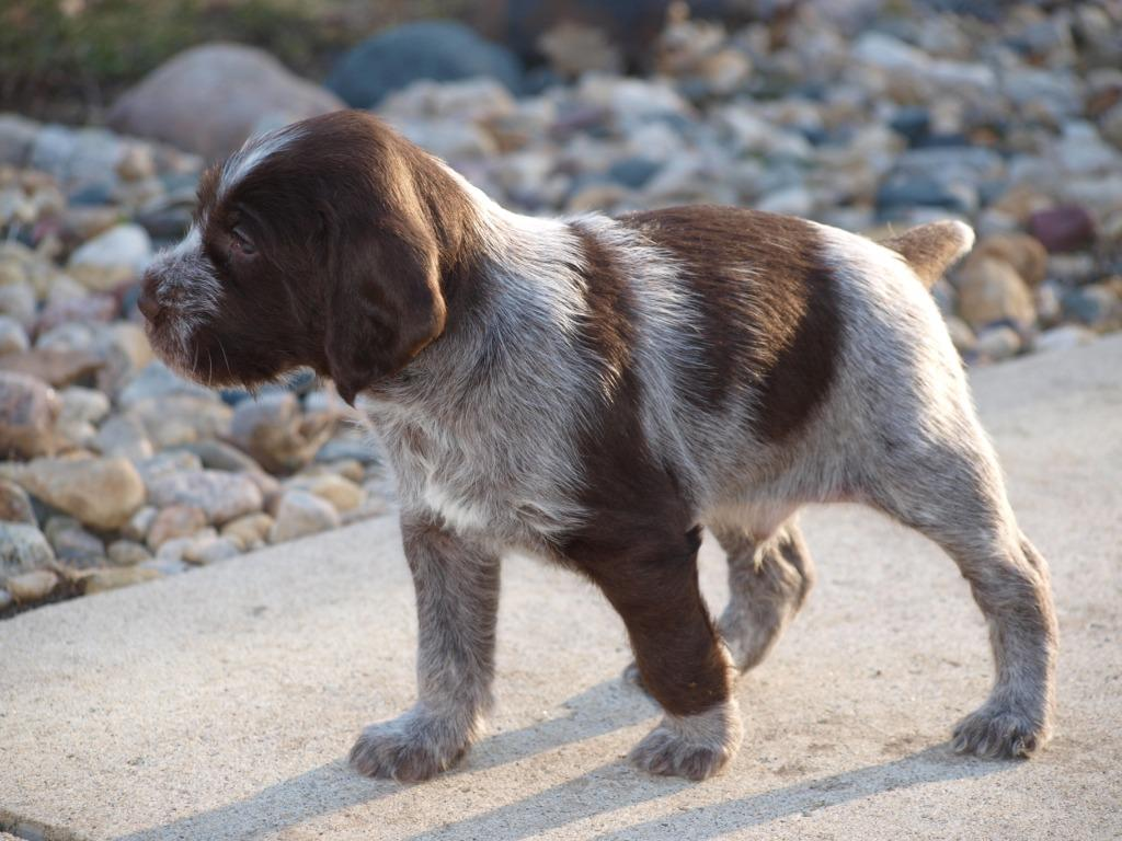 German Shorthaired Pointer Hunting Dogs For Sale