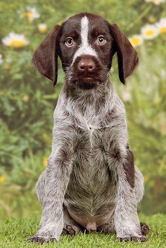 German Longhaired Pointer Dog Sale
