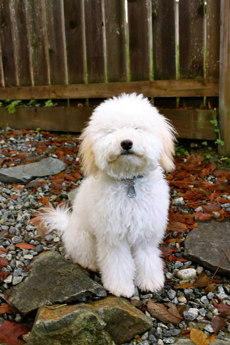 Whoodle (Wheaten Terrier-Poodle Mix) Info, Temperament ...