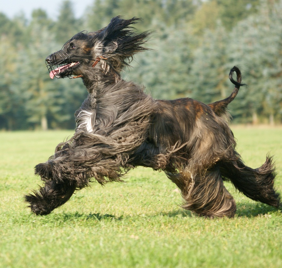 Afghan Hound Info, Temperament, Mixes, Training, Puppies