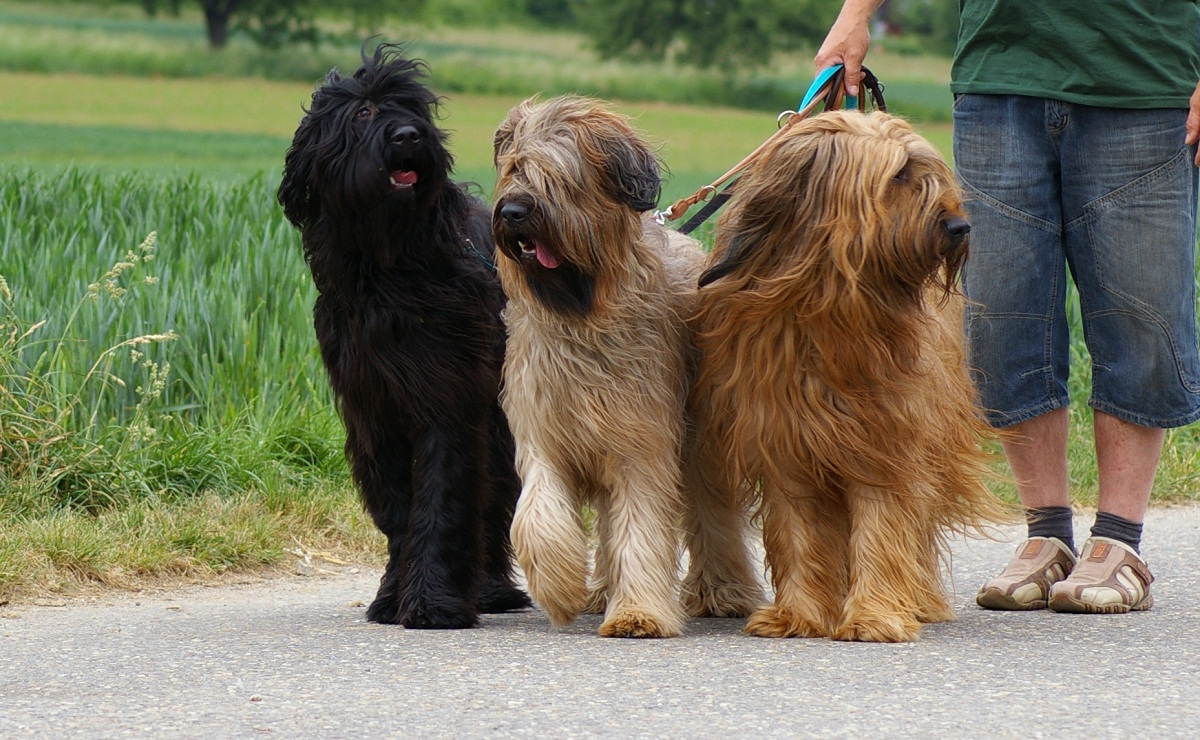 Briard Dog Info Temperament Care Training Puppies