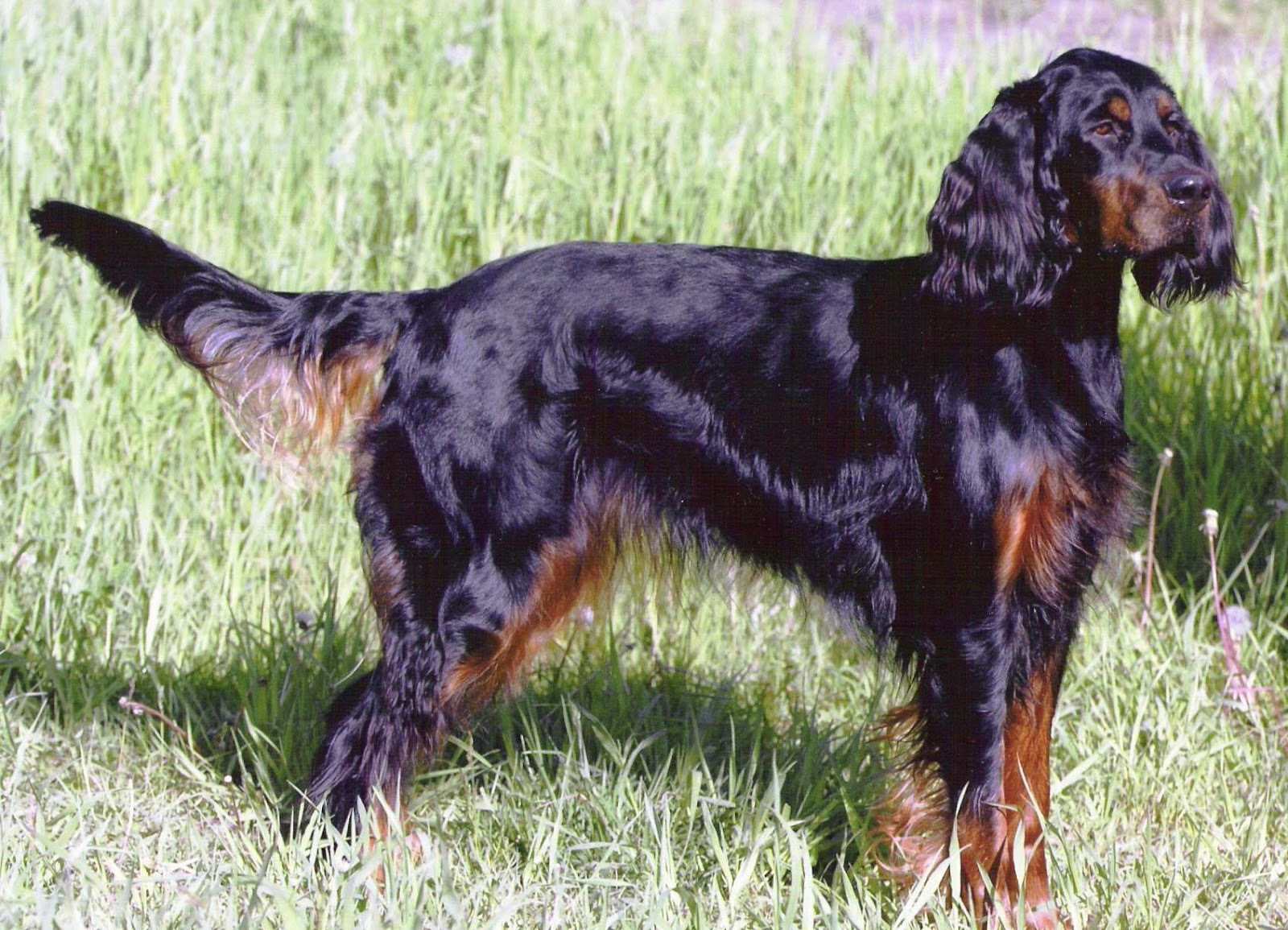 Dog Breed Info Red Setter