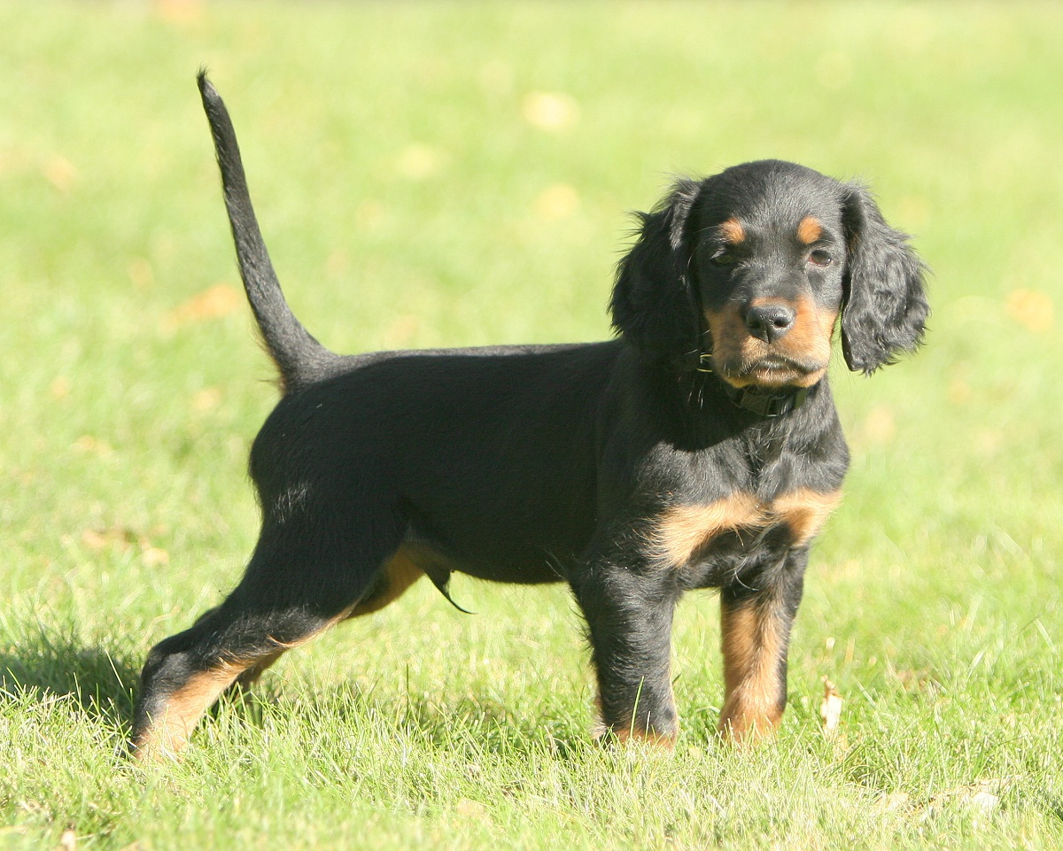 Dog Breed Gordon Setter