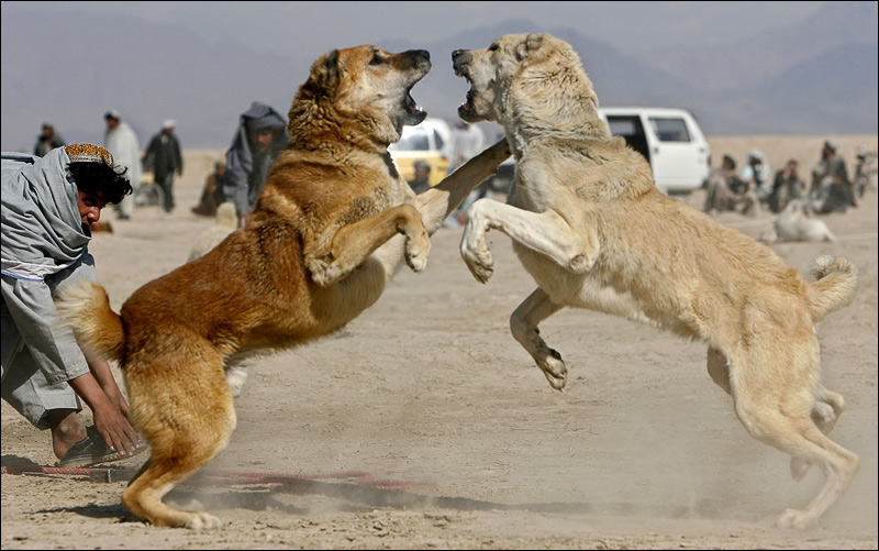 Kangal Dog Info Varieties Care Training Pictures