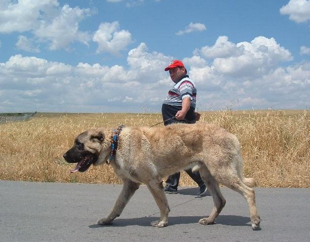Kangal Dog Info, Varieties, Care, Training, Pictures