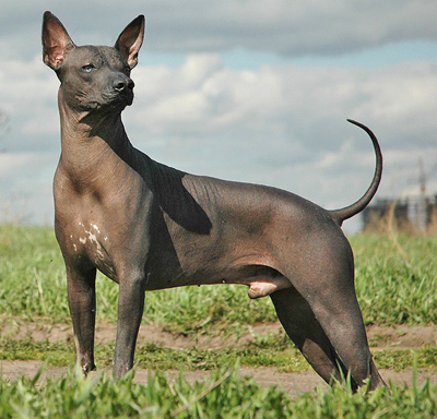 Toy Mexican Hairless Dog