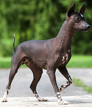 Mexican Hairless Dog Pictures