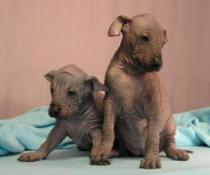 Xoloitzcuintli Mexican Hairless Info Temperament
