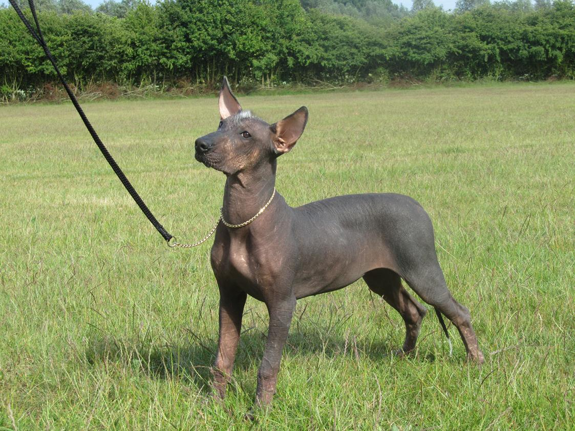 Xoloitzcuintli Mexican Hairless Info Temperament Puppies Pictures