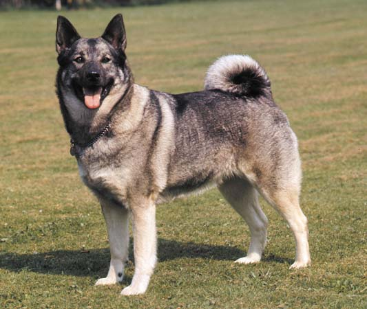 Dogs Like Norwegian Elkhound