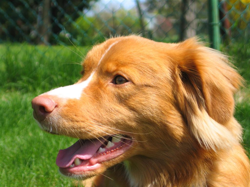 Dog Breed Duck Tolling Retriever