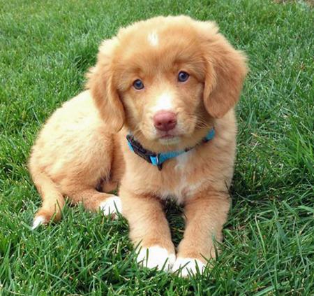 Nova Scotia Duck Tolling Retriever Dogs For Sale
