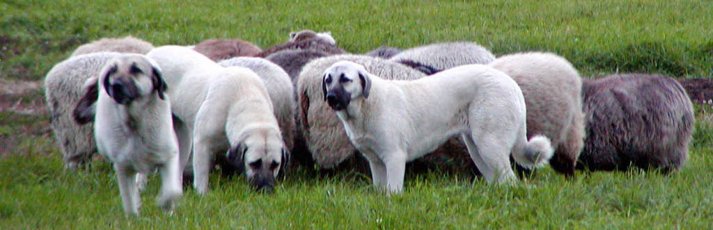 Dog Breed Turkish Kangal