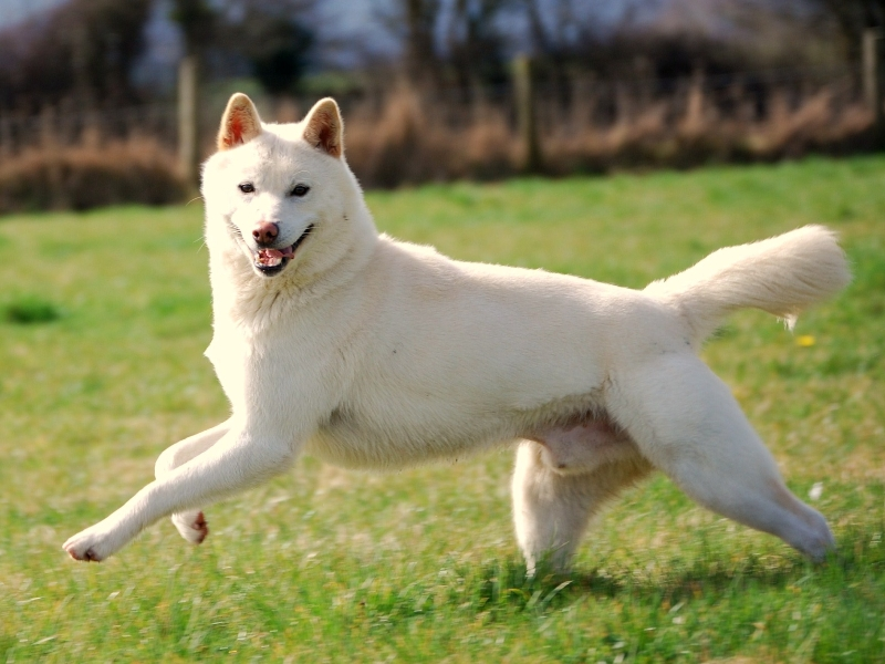 Jindo Dog Black