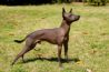 Xoloitzcuintli (Mexican Hairless Dog)