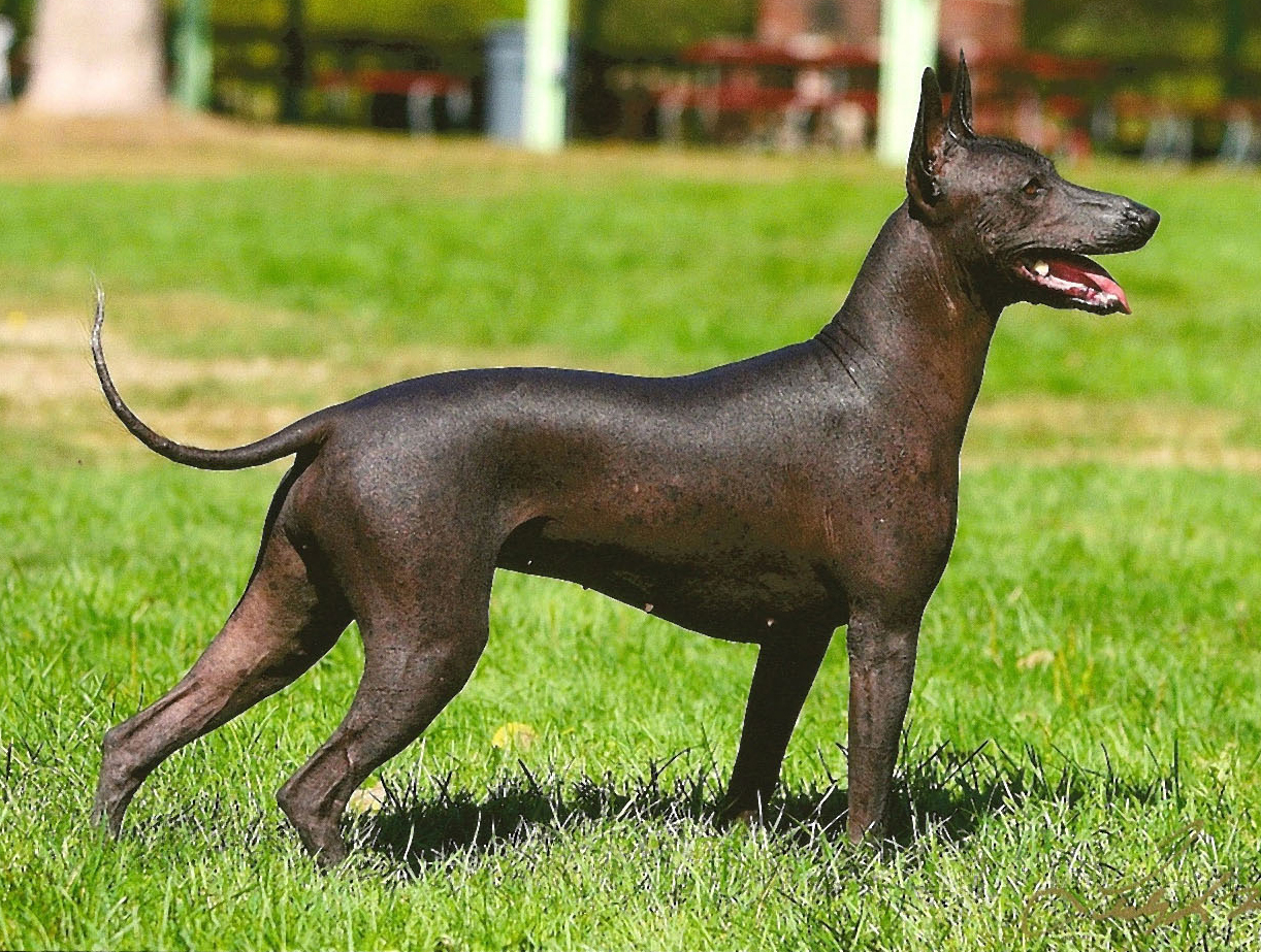 Blue Spotted Dog Breed