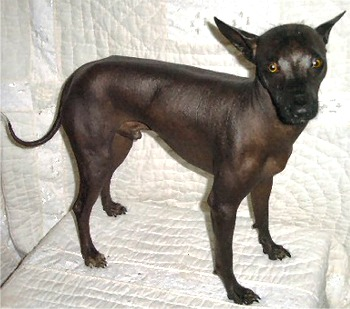 Hairless Dog Breeds For Sale