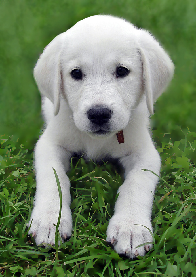 Are Labs Good Dogs For Kids