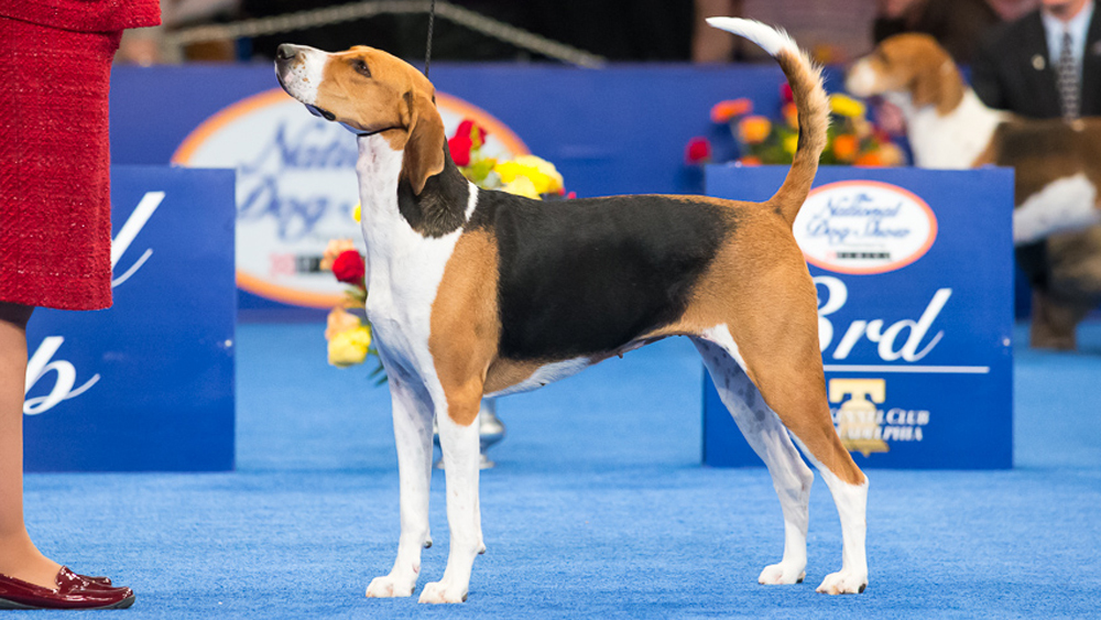 Breeds Of Coonhound Dogs