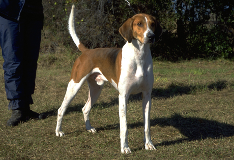 Training Coonhound Apartment Dog