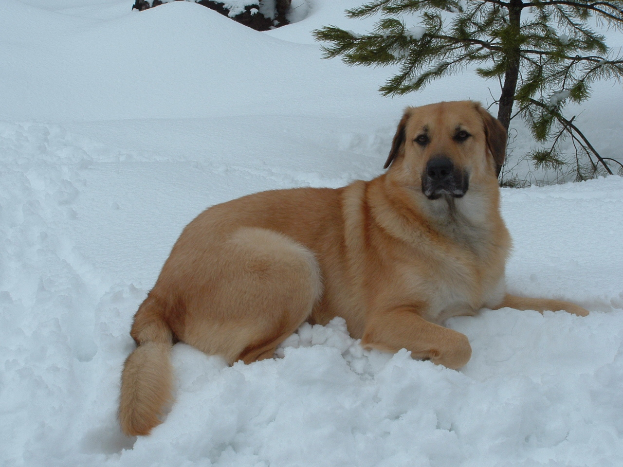 Chinook Dog Facts, Temperament, Care, Training, Puppies, Pictures