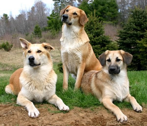 Dog Breeds Great With Cats