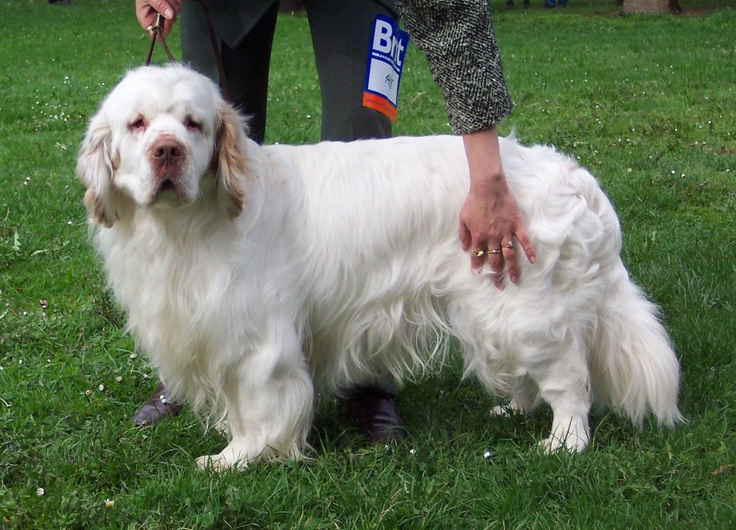 Clumber Spaniel Dog Breed Info