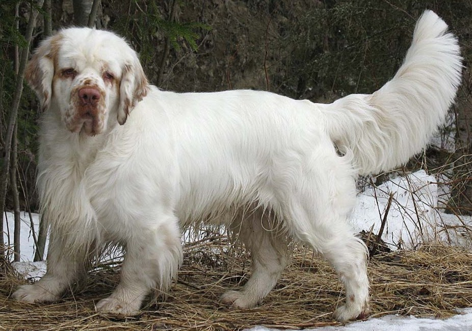 Clumber Spaniel Info Temperament Training Puppies Pictures