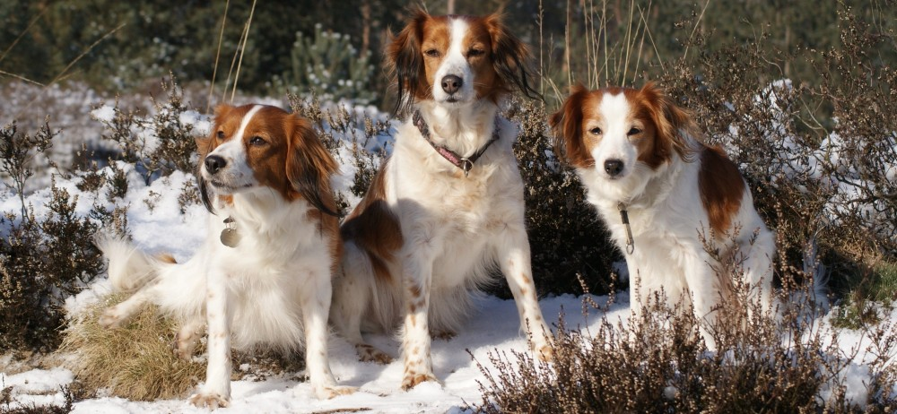 Kooikerhondje Info Temperament Care Training Puppies