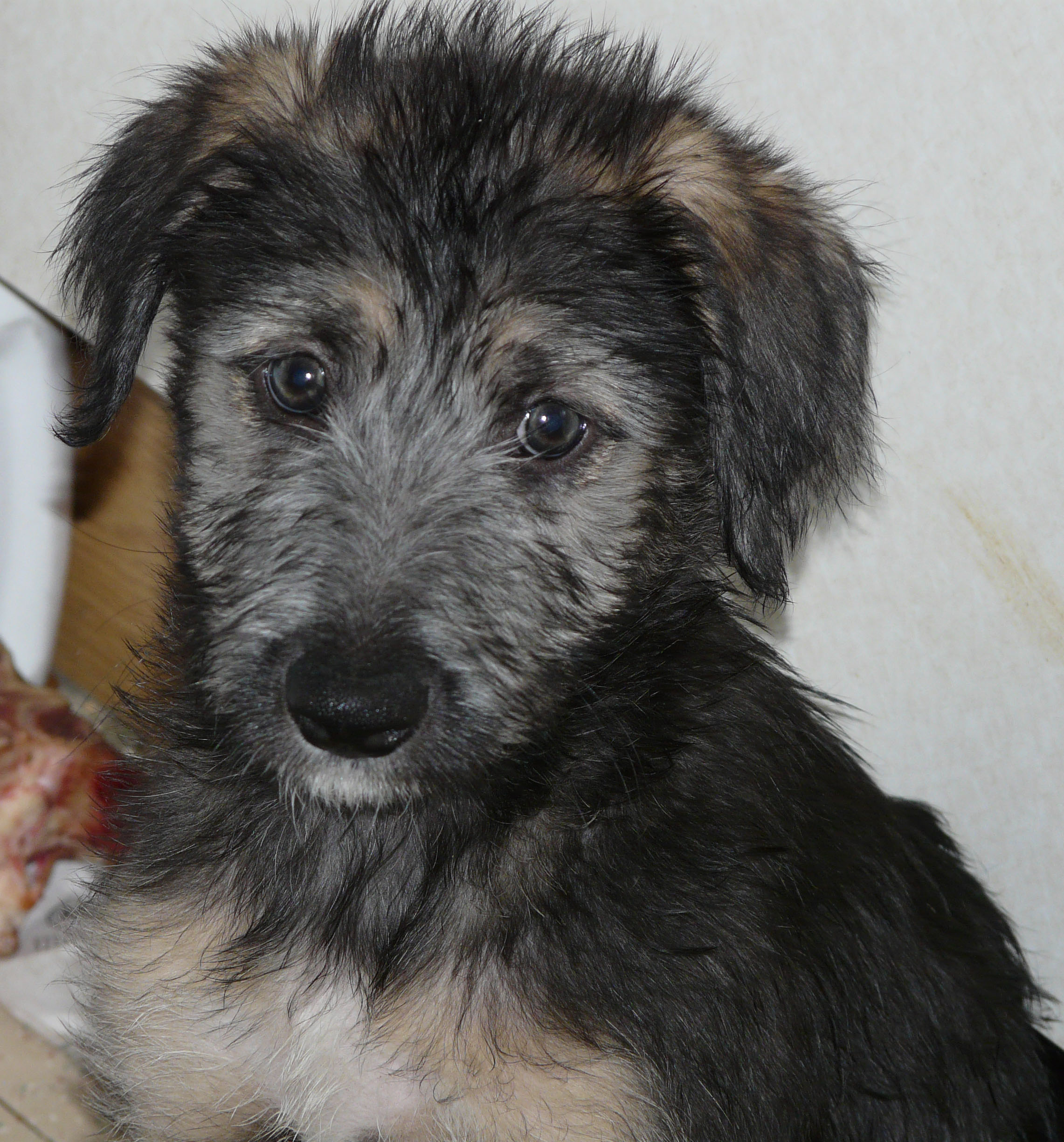 Lurcher Breed Info, Temperament, Puppies, Care, Training, Pictures