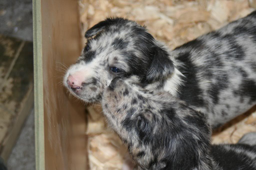 Lurcher Breed Info Temperament Puppies Care Training
