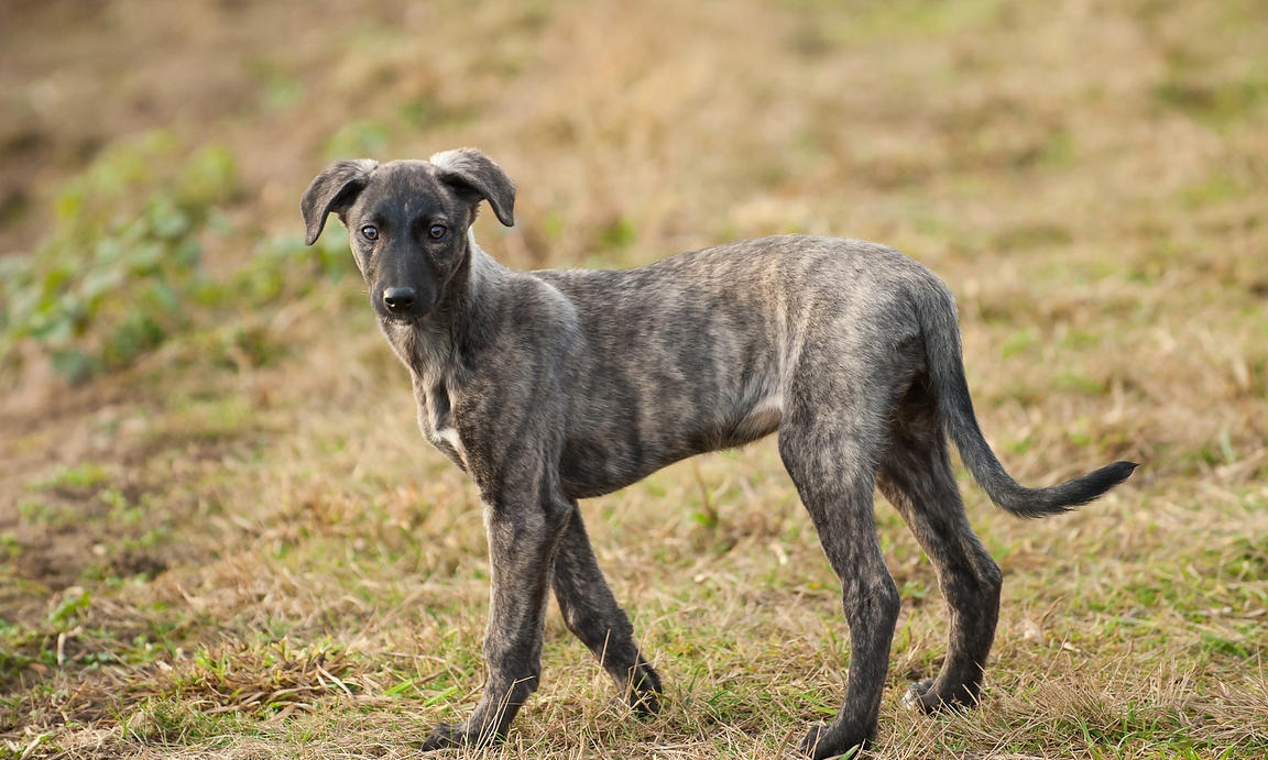 Dog Breed With Short Legs