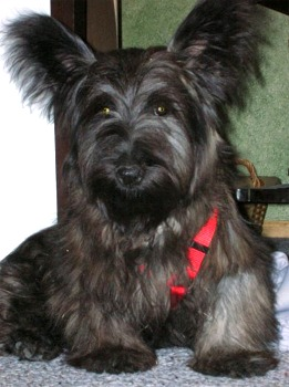 Skye Terrier Facts Temperament Care Training Puppies