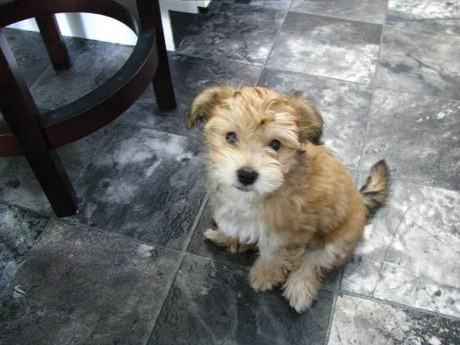 Yorkie Bichon (Bichon Frise, Yorkshire Terrier mix), Info ...