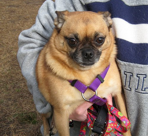 pug mixed with chihuahua chug dog chihuahua pug mix info temperament grooming 6905