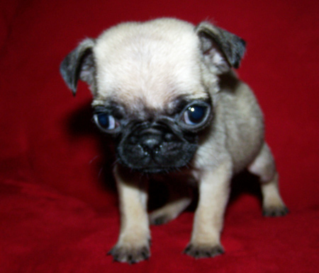 Chug Dog (Chihuahua Pug Mix) Info, Temperament, Grooming ...