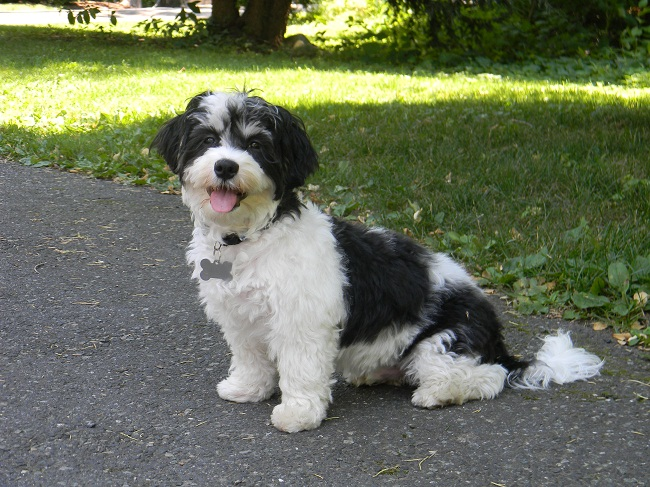 Havanese Dog Black And Tan